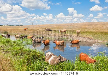 rural landscape with herd of cows standing in the pond