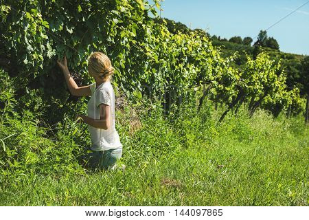 Young blond lady squatting and picking grapes harvest at vineyard on sunny day, Badasconytomaj, Balaton lake, Hungary