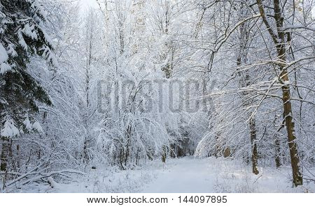 Snowy ground road with some tracks under hornbeam snow wrapped branches, Bialowieza Forest, Poland, Europe