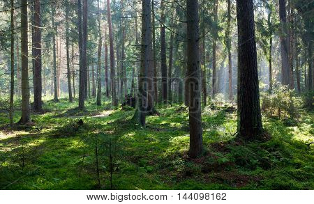 Wet coniferous stand in morning, Bialowieza Forest, Poland, Europe
