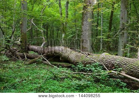 Autumnal deciduous stand with dead tree partly declined in foreground, Bialowieza Forest, Poland, Europe