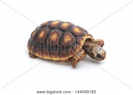 Red-footed tortoises Chelonoidis carbonaria on white background