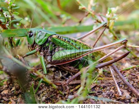 Acrididae hides in the grass. Locust active jumping insects. Large grasshopper in the summer. Bouncing strong locust.