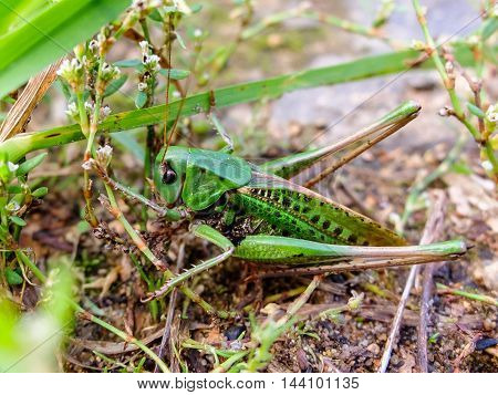 Acrididae hides in the grass. Locust green active jumping insects. Large grasshopper in the summer. Bouncing strong locust.
