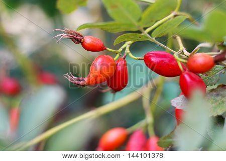 Rosehips dog rose rosa canina fruit Russian nature