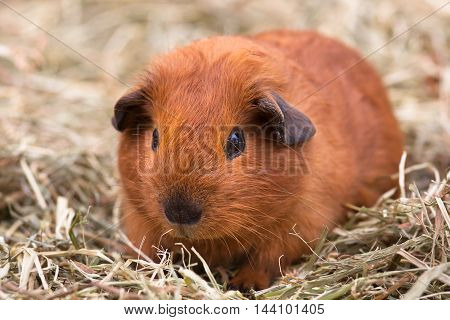 shorthair guinea pig sitting on the hay