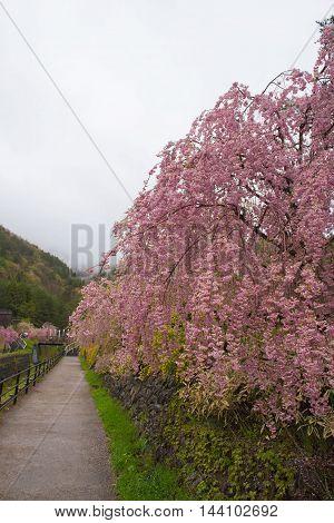 Way and Beautiful pink Cherry blossom in japan rainy season