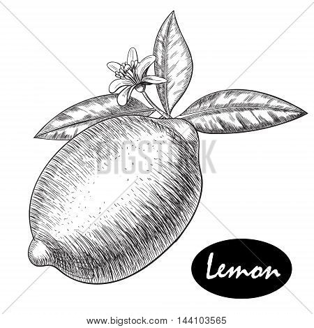 Vector hand drawn lime or lemon set. Whole lemon, sliced pieces half, leave sketch. Fruit engraved style illustration. Retro vector illustration. Detailed citrus drawing. Great for water, detox drink, natural cosmetics