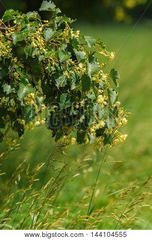 Flowers Of Linden Tree