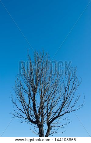 Burned tree with blackened branches alone on blue sky background concept of natural disaster