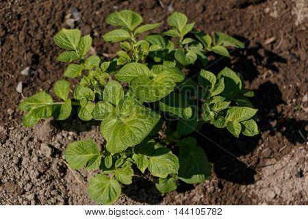 Potato bush in small communal garden in Stockholm. Urban gardening