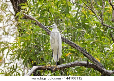 Little egret aquatic heron bird in white perching on tree branch in the forest, Thailand, Asia