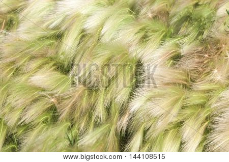 Feather Grass. Steppe Wild Herb With Narrow Leaves.