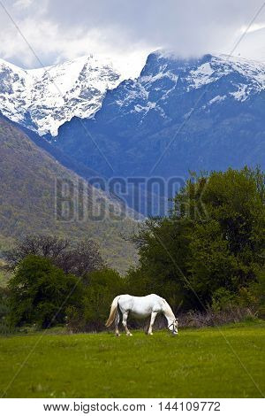 white horse eat grass in the mountains