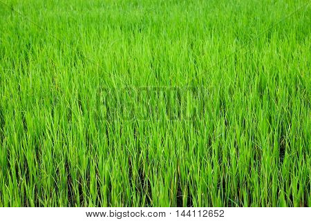 Green paddy Rice filed background in thailand