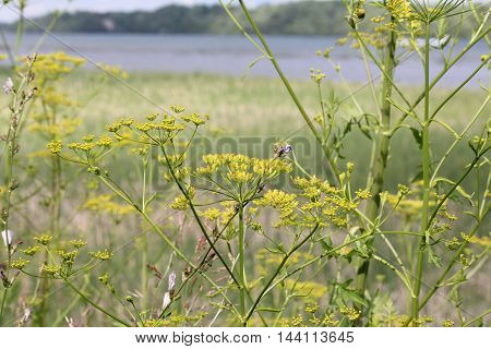 Wild Parsnip Pastinaca sativa with yellow heads in a field by a large body of water in S.E Ontario Very toxic plant at this stage of growth.