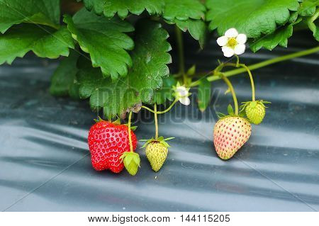 close-up of fresh organic strawberry in  fields