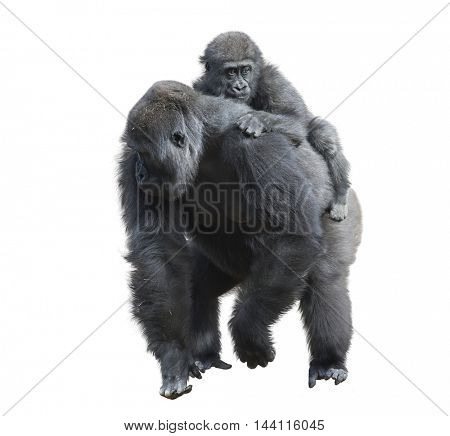 Gorilla Female with Her Baby isolated on white background