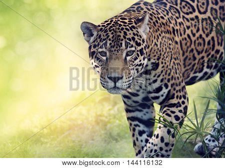 Portrait of walking leopard