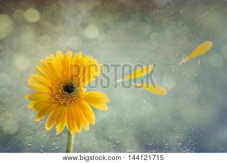 Gerbera flower with textured background and raindrops