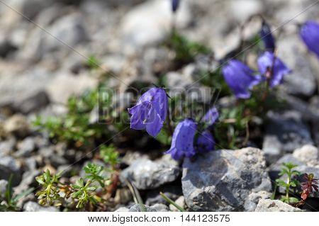 An Earleaf bellflower (Campanula cochleariifolia) in the Bavarian Alps.