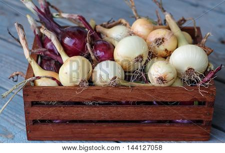 Small harvest from urban garden. Box with onions