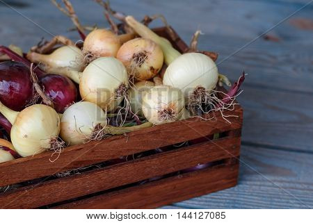 Small harvest from urban garden. Red and yellow onion in the wooden box.