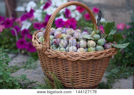 plum in a wicker basket in the garden. shallow depth of field