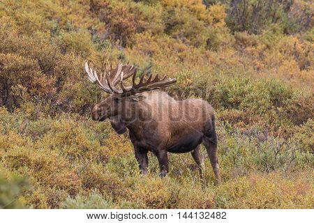 an alaska yukon bull moose in velvet on the tundra