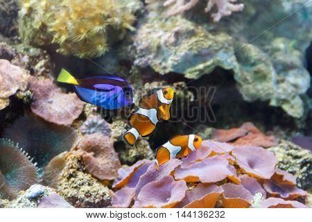 Aquarium fishes paracanthurus hepatus and clown swimming on reef background