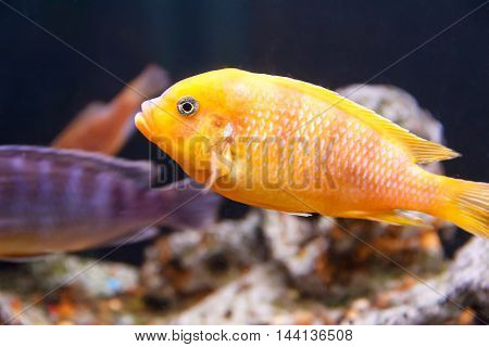 One yellow aulonocara fish swimming in aquarium tank