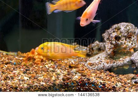 Couple orange aulonocara fishes in aquarium tank with reef on background