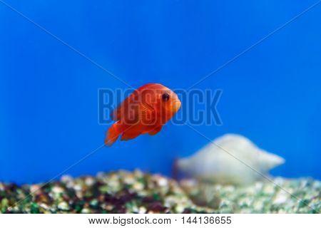 One red fish swimming in aquarium tank