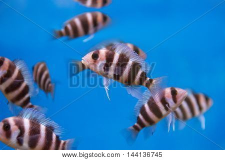Several frontosa cyphotilapia fishes with stripes swimming in the aquarium