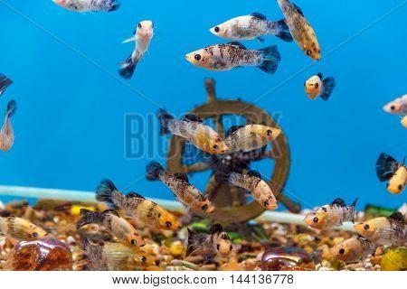 Big amount of small fishes swimming in aquarium
