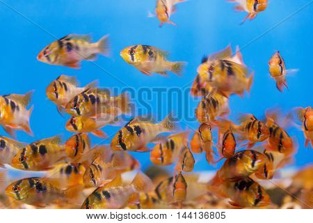 Large group of small fishes swimming in the water