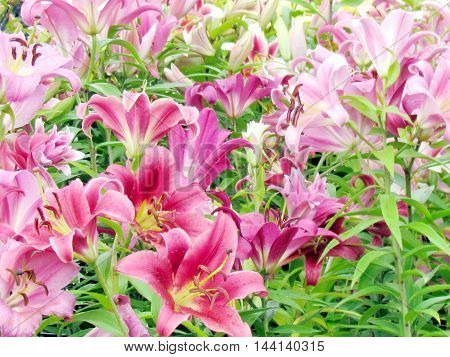 Carpet of pink lilies on bazaar in St. Jacobs Village Ontario Canada