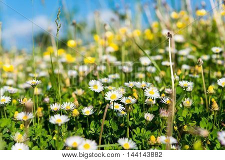 daisy blooming natural, grow, floral in the meadow