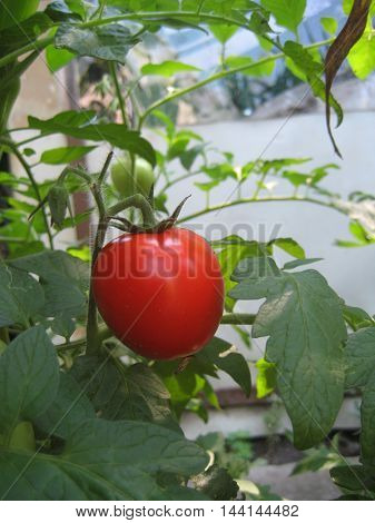 Ripe natural tomatoes growing on a branch in a greenhouse. Shallow depth of field