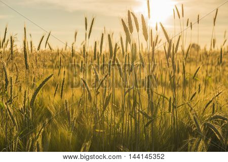 Grain field in the Achterhoek in the Netherlands with a setting sun