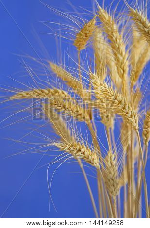 stems of ripe wheat against blue sky