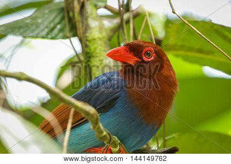 Sri Lankan Endemic Ceylon Blue Magpie Urocissa Ornata.