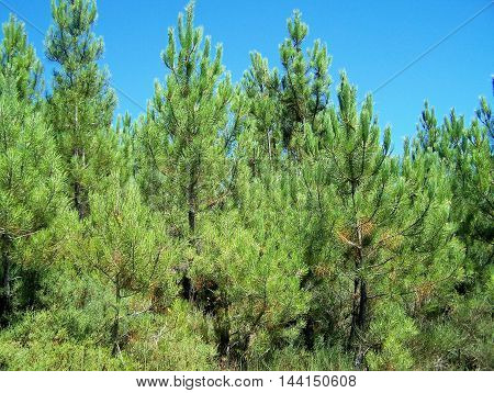 Several pine tree aspect  in a public forrest