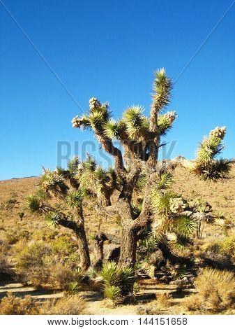 Joshua Tree (Yucca brevifolia) in the Mojave Desert (California, USA)