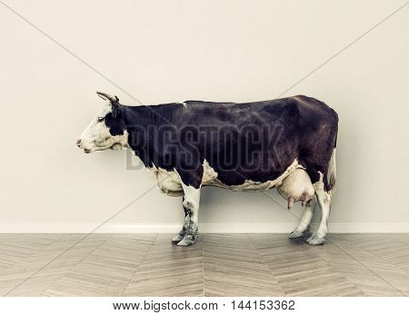 the cow in a room near white wall. Creative photo combination concept