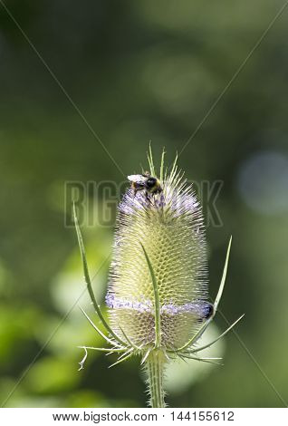 A bumblebee  on a bloomin common teasel