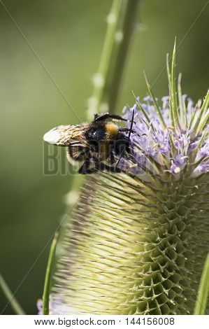 A bumblebee sitting on a blooing common teasel