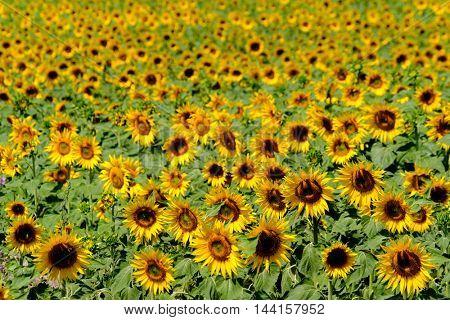 Field of ripe blooming sunflowers in Provence