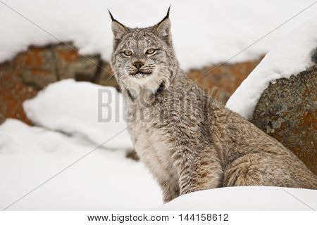 Lynx Is Standing In Front Of The Red Rock.