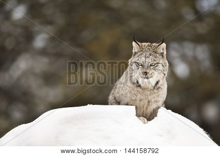 Lynx is walking on snowy rock. Lynx is walking silently on the snow. Getting ready for attack. He is looking curiously behind of the rock. His face can seen clearly.